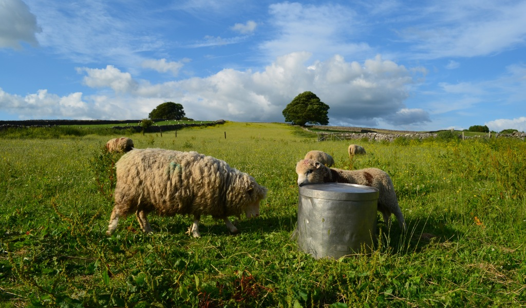 Sheep in our meadow